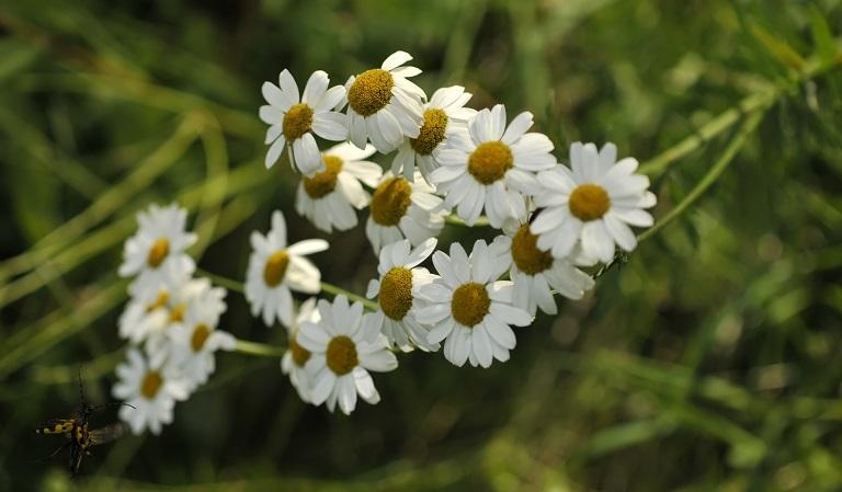 Kamille – Naturens egen beroligende medicin